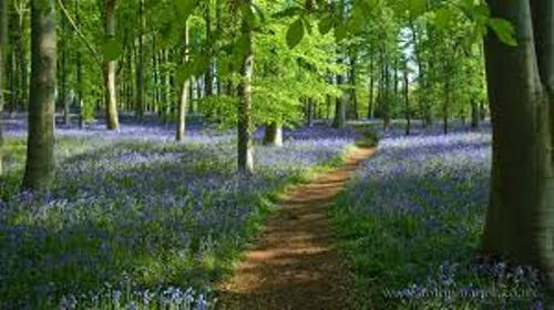 Bluebells Facts