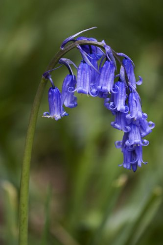 Bluebells color