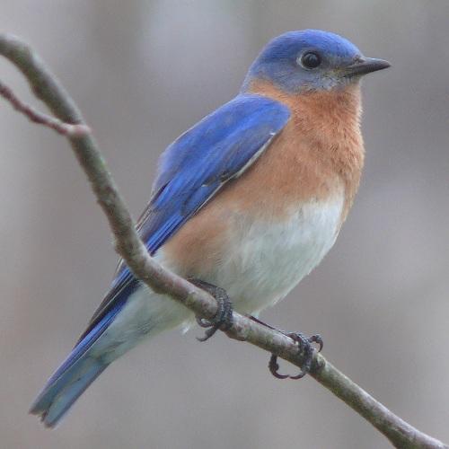 Bluebird Facts