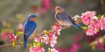 10 Facts about Bluebirds