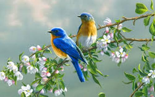 Bluebirds Facts