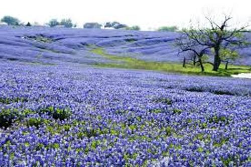 Bluebonnet Facts