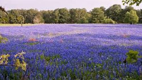 Bluebonnets Beauty