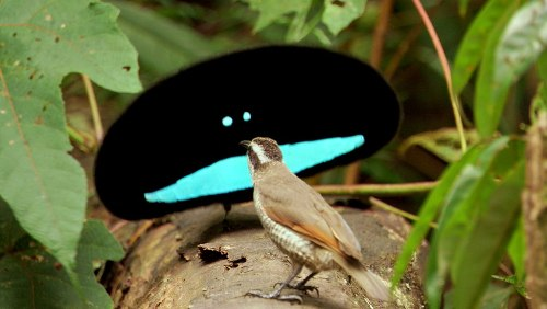 Cute Birds of Paradise
