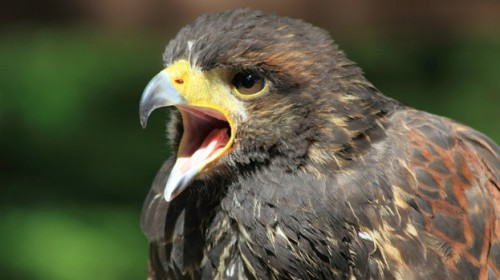 Facts about Birds of Prey