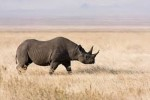 10 Facts about Black Rhinos