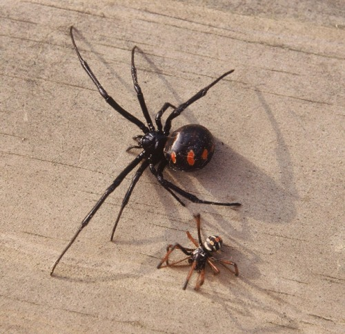 Facts about Black Widow Spiders