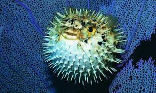 Facts about Blowfish