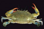 10 Facts about Blue Crabs