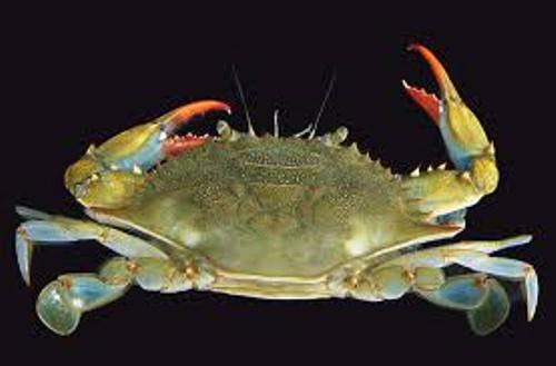 Facts about Blue Crabs