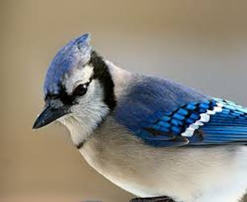 Facts about Blue Jays