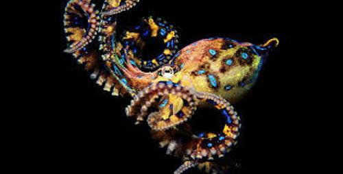 Facts about Blue Ringed Octopus