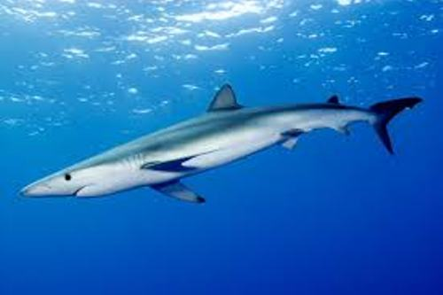 Facts about Blue Sharks