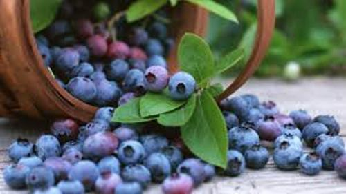 Facts about Blueberries