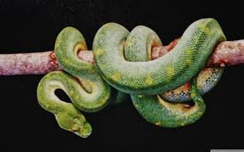 Facts about Boa Constrictors