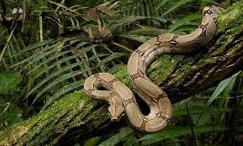 Boa Constrictor Picture