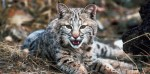 10 Facts about Bobcats