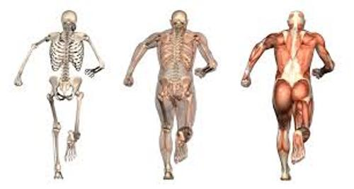 Bones and Muscles Facts
