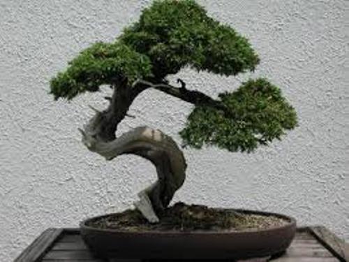Bonsai Tree Facts