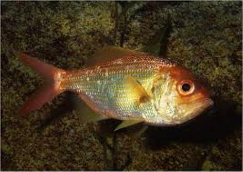 Bony Fish Facts