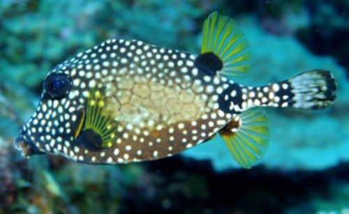 10 Facts about Bony Fish | Fact File King Of Herrings