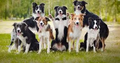 Border Collies Facts