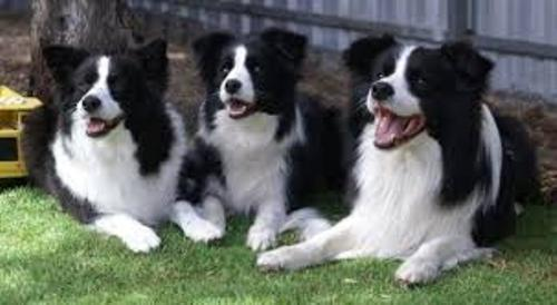 Border Collies Pic