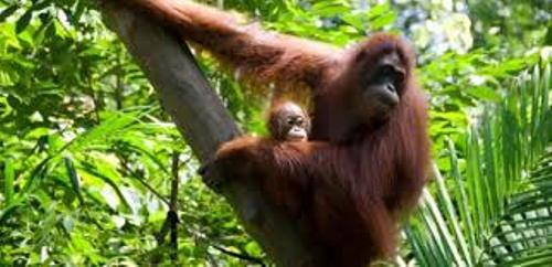 Borneo and Orang Utan