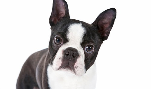 Boston Terriers Facts