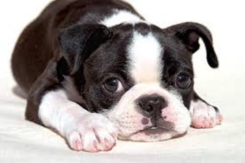 Boston Terriers Pet