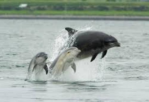 Bottlenose dolphins Pic