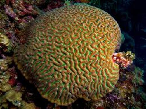 Brain Coral Facts