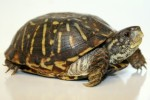 10 Facts about Box Turtles