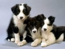 10 Facts about Border Collies