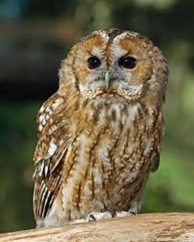 Nocturnal Animals Owl