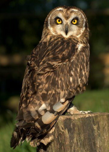 10 Facts About British Owls Fact File