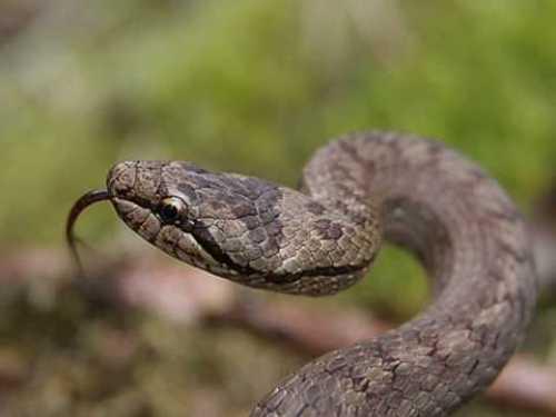 British Snake