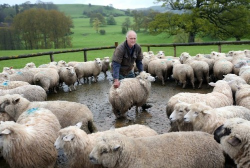 British Wool Farms