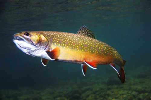 Brook Trout Facts