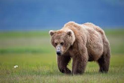 Brown Bears Image