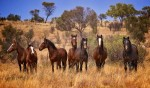 10 Facts about Brumbies