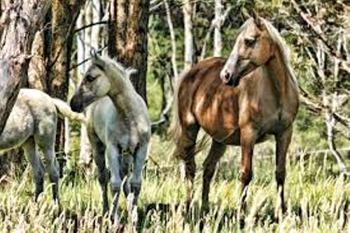 Brumbies Horses