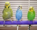10 Facts about Budgies