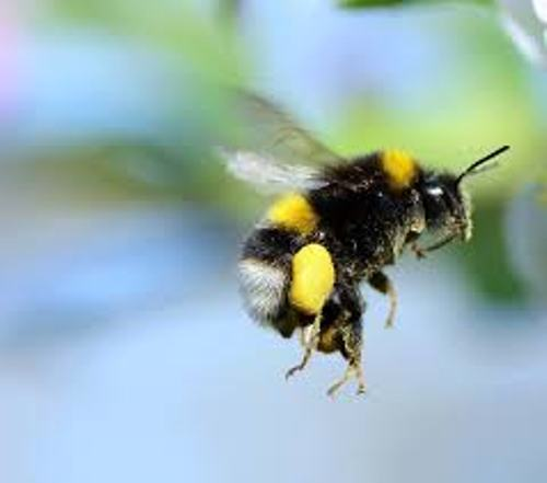 Bumblebees facts