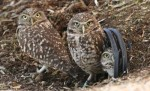 10 Facts about Burrowing Owls