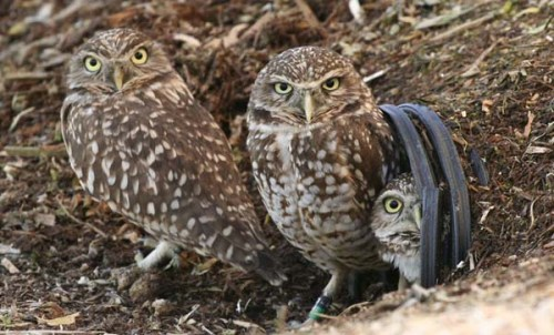 Burrowing Owl Picture