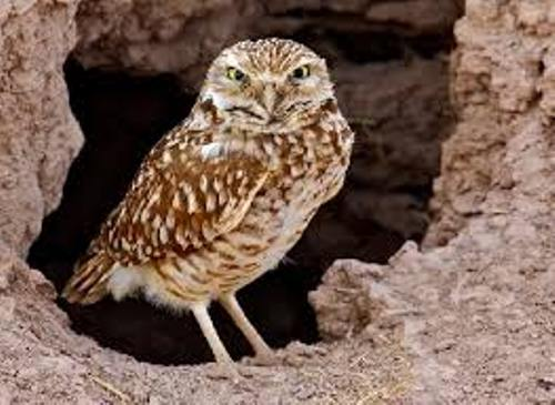 Burrowing Owls Facts
