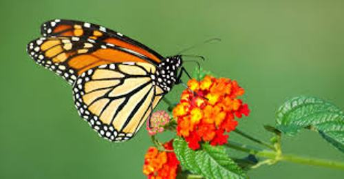 Butterflies Facts