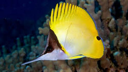 Butterfly Fish Color