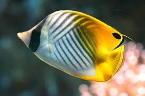 Butterfly Fish Facts